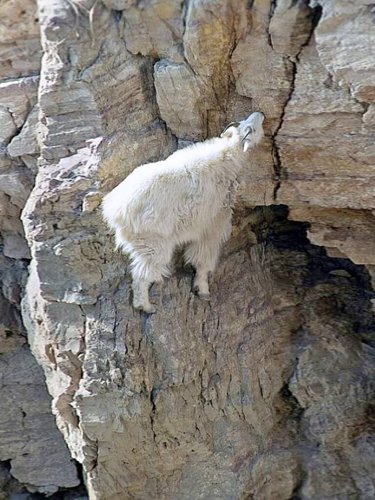 Letting go - a ram ascends a steep cliff | India, meditation, Beyond Spaces blog